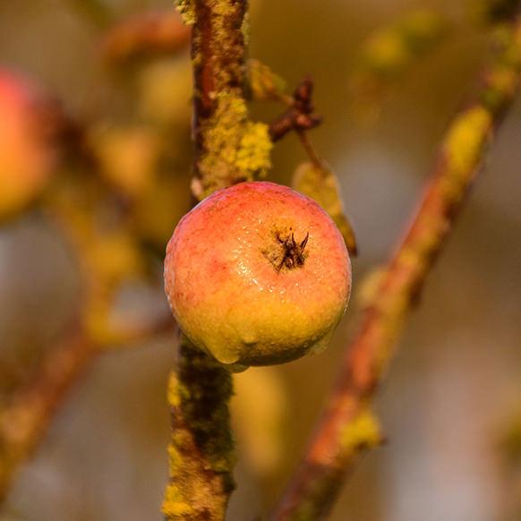 Fruta em galho de árvore.