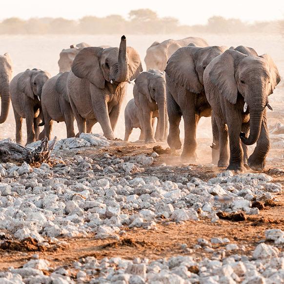 Elefantes do Deserto